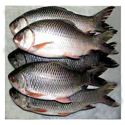 Rui Fish