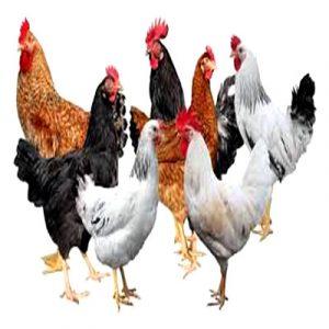 Local-Chicken