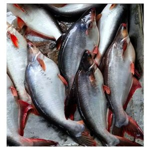 Pangas Fish-পাঙ্গাস মাছ