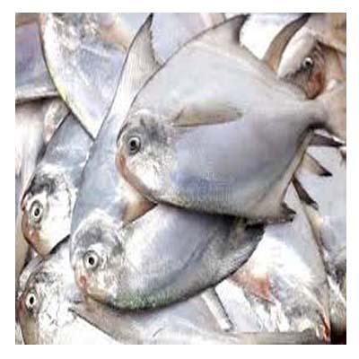 Pomfred-রূপচাঁদা মাছ