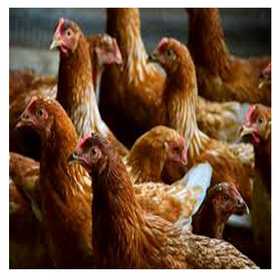Sonali-Chicken