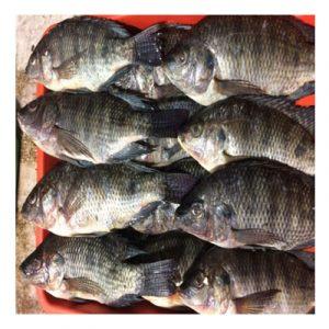 Tilapia Fish-তেলাপিয়া মাছ