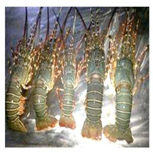 Lobster-লবস্টার